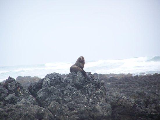 Ahipara, New Zealand: Seals