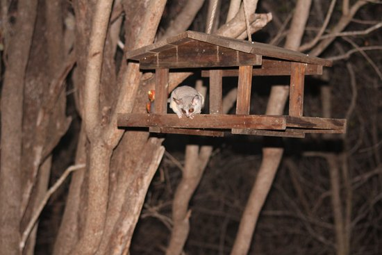 Jackalberry Ridge: little night visitor-Bushbaby