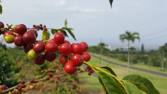Ueshima Coffee Company: coffee cherries