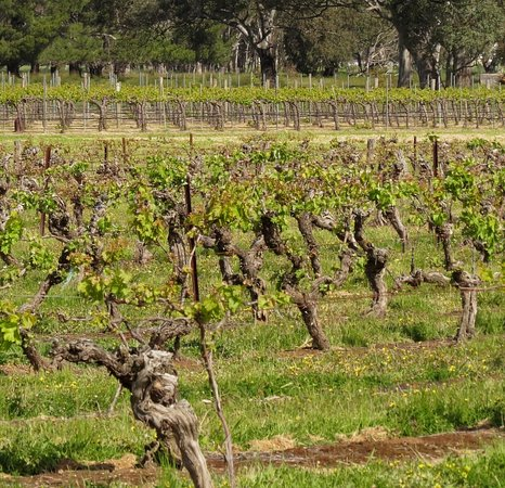 Best's Wines Great Western: The old & young vines