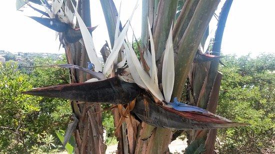 Chintsa, Südafrika: Strelitzia nicolai
