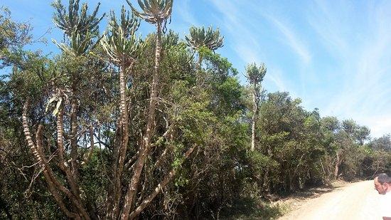 Chintsa, Südafrika: Euphorbia
