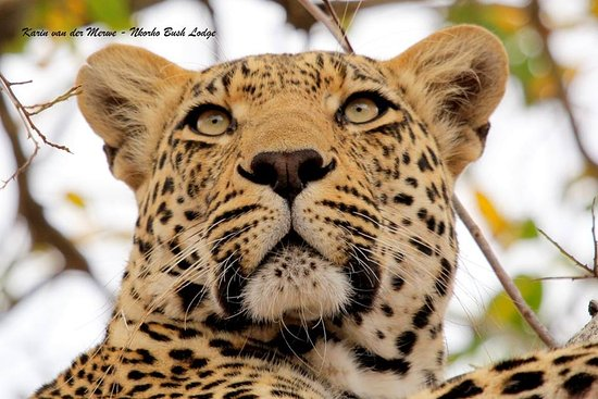 Nkorho Bush Lodge: Male Leopard watching Hyena