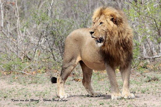 Nkorho Bush Lodge: Huge male Lion