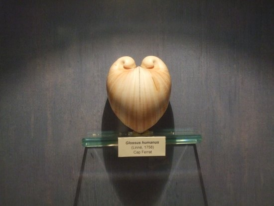 Musee des Coquillages: Shell like a heart