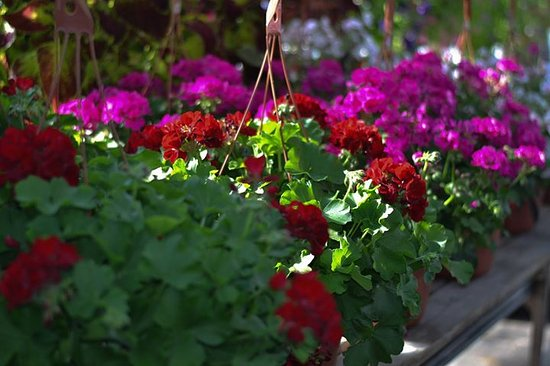 Lee & Maria's: These geraniums will look beautiful until frost