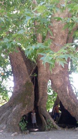 Tnjri (Platan Tree)