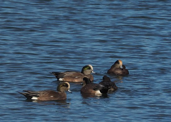 Oak Harbor, WA: Flock of American Wigeon
