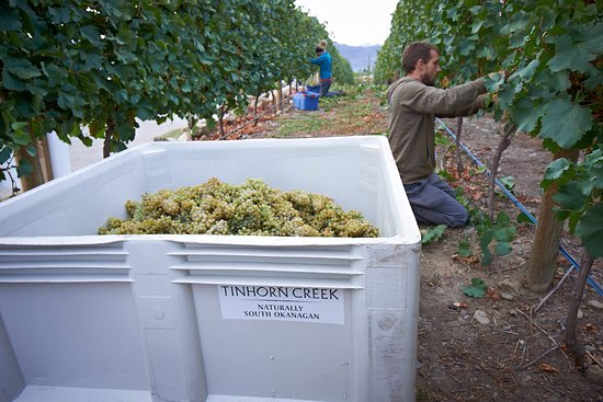 Oliver, Canadá: Tinhorn Creek Harvest Time
