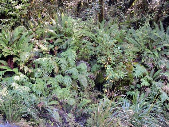 Fiordland National Park (Te Wahipounamu): helechos