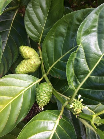 Hawaiian Organic Noni Farm: photo1.jpg