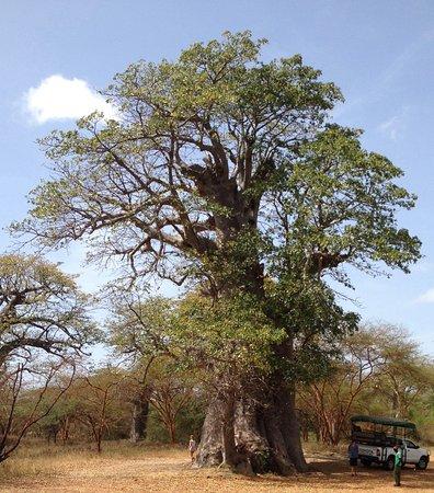 La Petite Cote, Senegal: De heilige baobab.