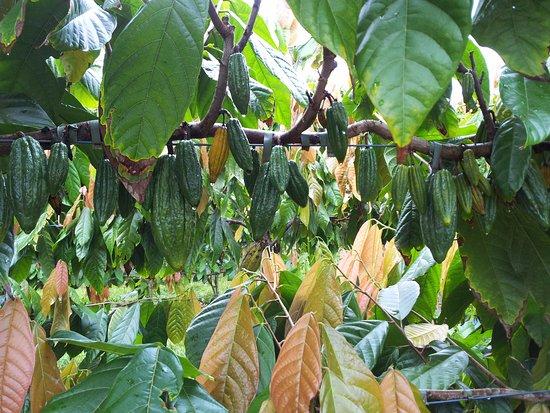 Мишн-Бич, Австралия: Cocoa pods