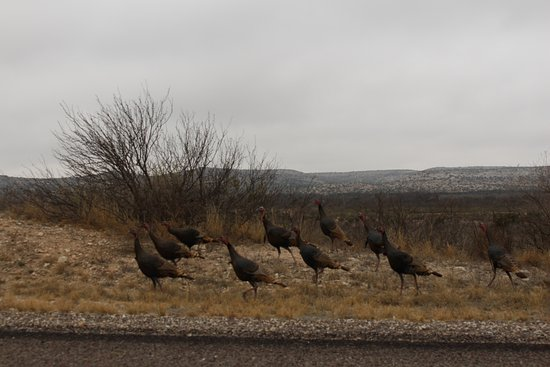 Fort Davis, TX: Wild Turkeys
