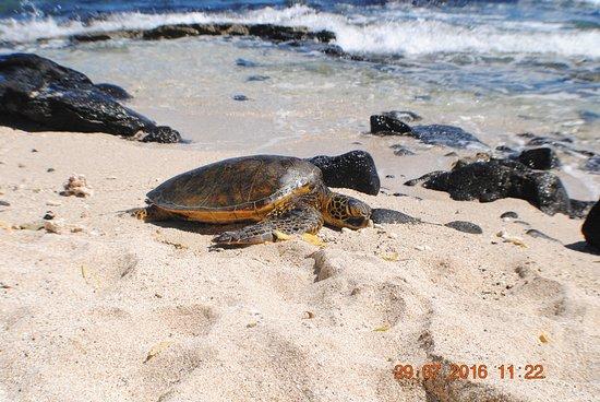 Makalawena/Pu'u Ali'i: lovely turtle taking a rest