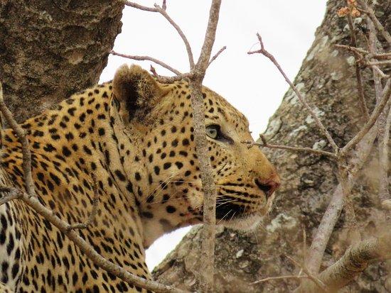 Yzeures-sur-Creuse, France: Leopard in Kruger Preserve