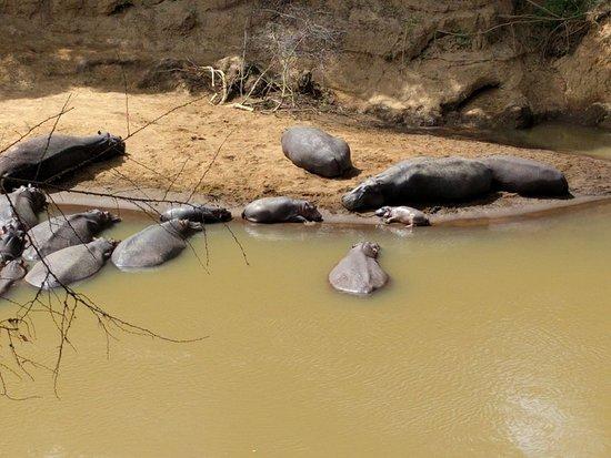 Fairmont Mara Safari Club: A tiny new born hippo arrived overnight on the sandbank opposite my tent