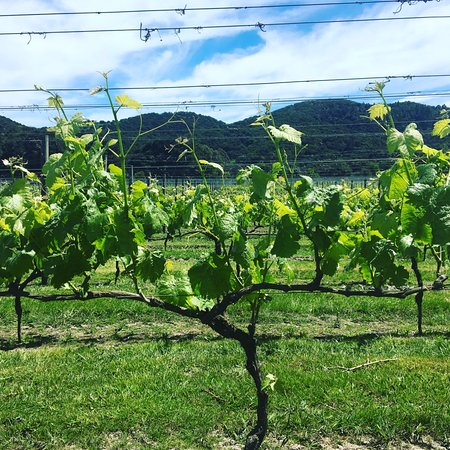 Waiheke-eiland, Nieuw-Zeeland: Vines growing again after Winter