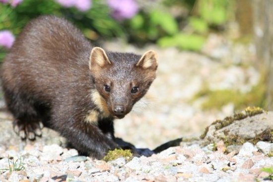 Kilmartin, UK: You might get to see our famous pine marten during your stay!