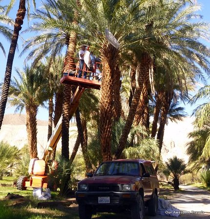 Tecopa, CA: harvesting dates
