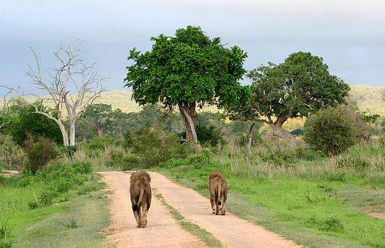 Region Daressalam, Tansania: Lions in Mikumi national park