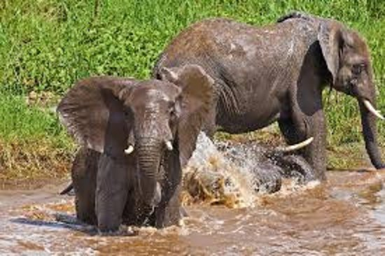 Dar Es Salaam Region, Tanzanya: Experience elephants in Ruaha national park