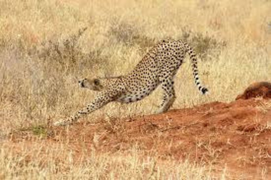 Dar Es Salaam Region, Τανζανία: Cheetah streching in Mikumi national park