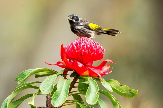 Blackheath, Australia: New Holland Honeyeater on a waratah flower