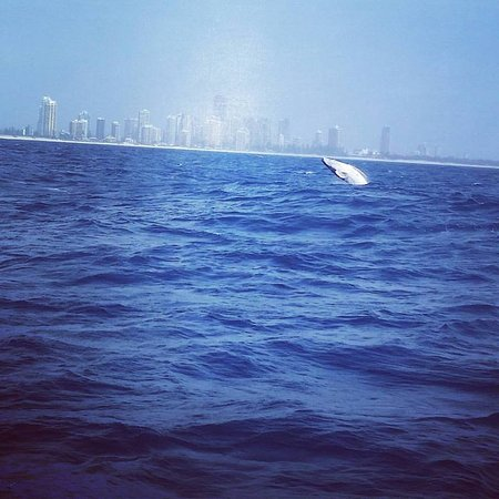 Whales in Paradise - Gold Coast Whale Watching Pty Ltd : Baby calf whale showing off