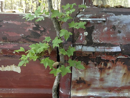 White, GA: Old truck and invasive tree