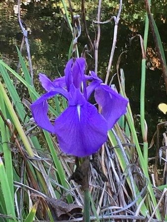 UC Botanical Garden at Berkeley: Siberian Iris