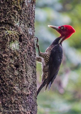 Selva Verde Lodge: Pale-billed Woodpecker