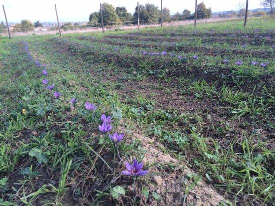 Farnetella, Włochy: Autumnal saffron at Podere Pievina