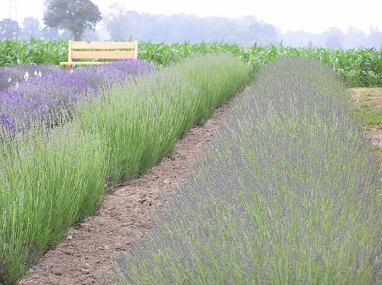 Chatham, Καναδάς: Visit our Local Lavendar Farm Festival! July 2 & 3