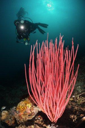 Bali Diving Academy Pemuteran: Taucher hinter Koralle