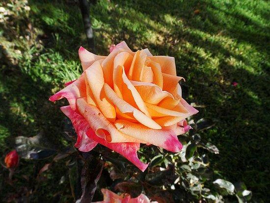 Imperial Cusco Hotel: Rosa no jardim do hotel