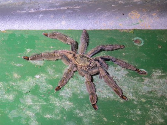 Arima, Trynidad: Trinidad Chevron Tarantula seen on the night walk - about 5 inches across