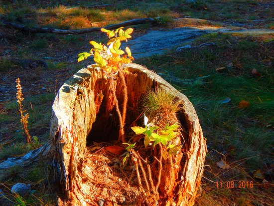 Georgetown, ME: New Growth from a stump at Reid. :-)