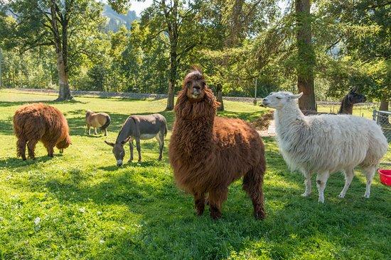 Saanen, Schweiz: Die grossen Tiere sind auf der Wiese.