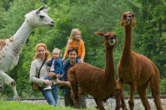 Saanen, Switzerland: Alpacas und Lamas sind ebenfalls in der Stiftung Alpenruhe anzutreffen.