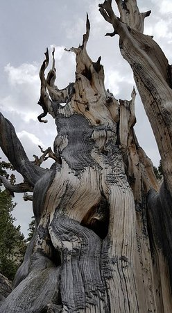 Baker, NV: One of the ancient Bristlecone Pines