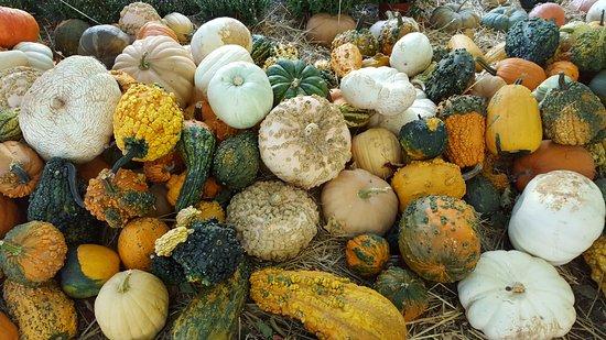 Butler's Orchard: pumpkins