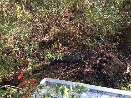 DeLand, FL: Gators up close and personal.