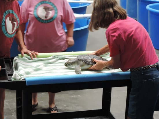 The Karen Beasley Sea Turtle Rescue and Rehabilitation Center : Green Turtle getting a health check