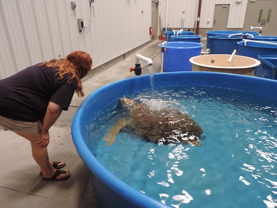 "Surf City, NC: Loggerhead loves the ""shower"" in her tank."