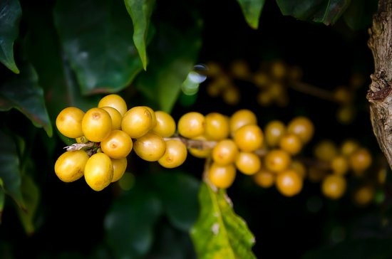 Kalaheo, Hawái: COFFEE CHERRY