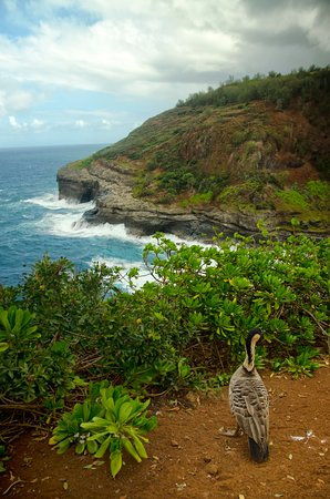 Kilauea, HI: NENE - HAWAII'S STATE BIRD