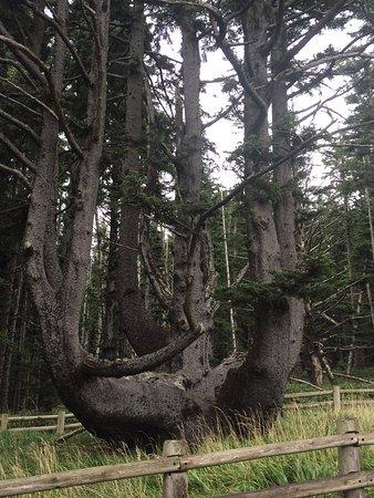 Tillamook, Oregón: The Octopus tree.