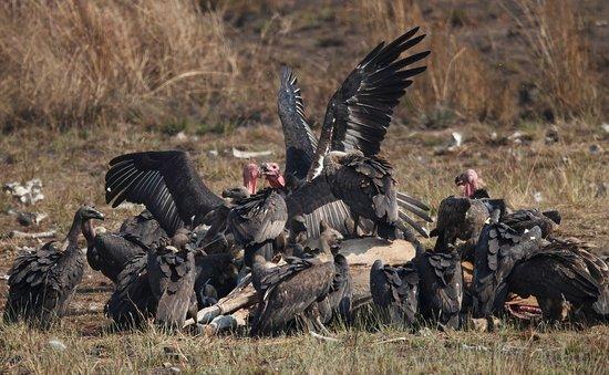 sam veasna center vultures at the vulture restaurant boeng toal preah vihear