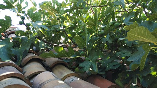 Kranevo, Bulgaria: Плоды инжира на черепичной крыше